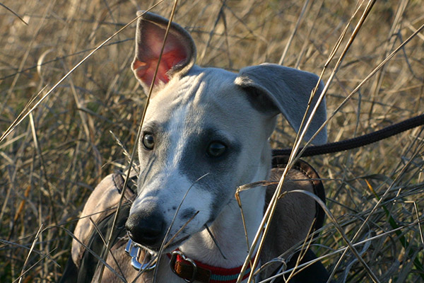 champs-ble-oreilles-whippets-levriers-whippet-elwood-meadows