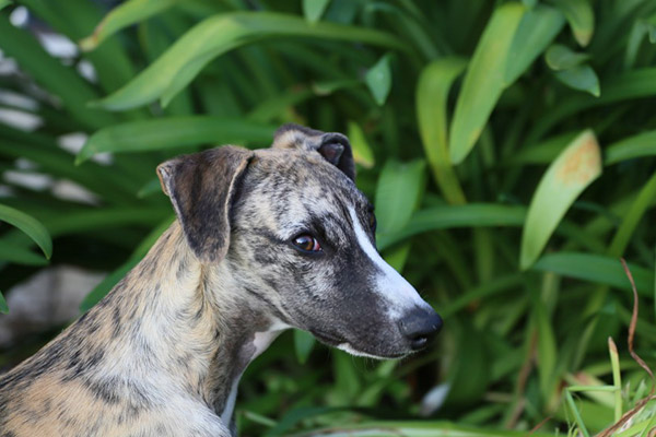 oreilles-chien-whippets-fauve-blanc-whippet-elwood-meadows