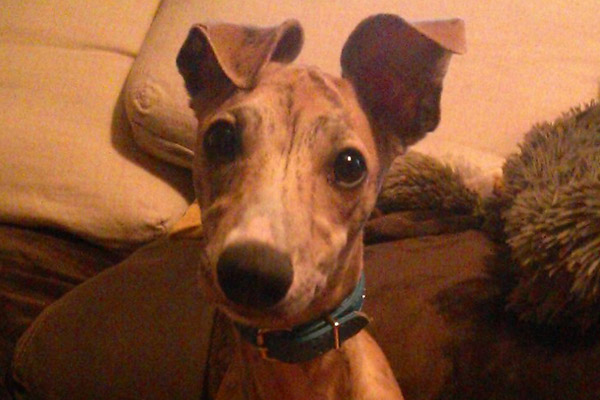 whippet-oreilles-bringe-whippets-elwood-meadows