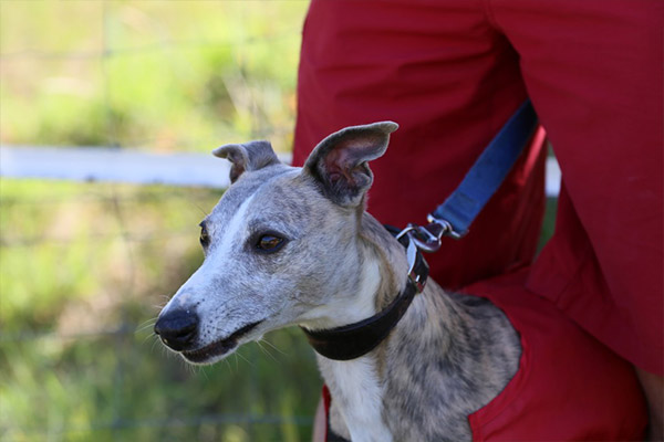 gestation-whippet-elwood-meadows