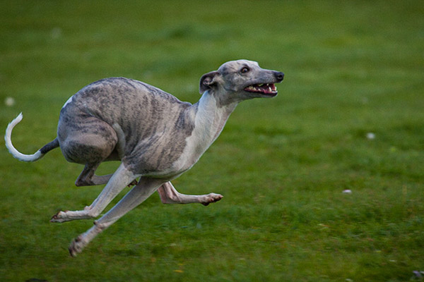 coursing-whippet-pvl
