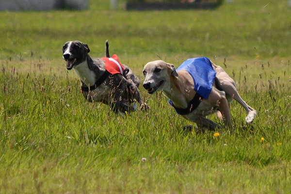 coursing pvl morlaix clam whippets