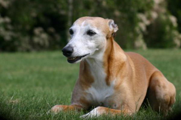 whippet-male-elwood-meadows