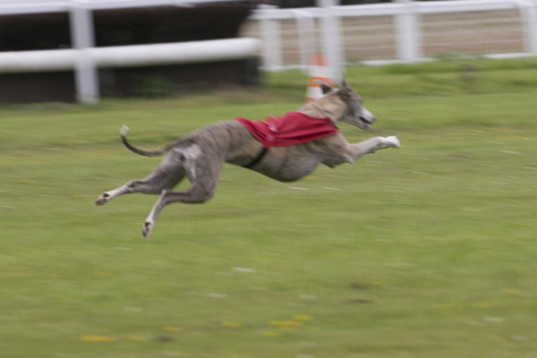 clam pvl whippet