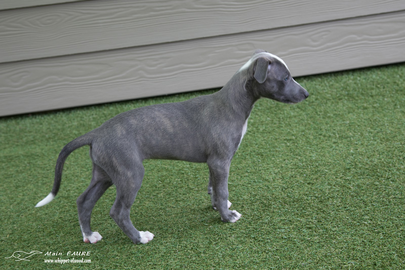 Minoa chiot whippet elwood meadows