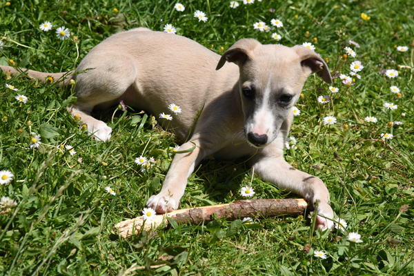 chiots-whippets-sable