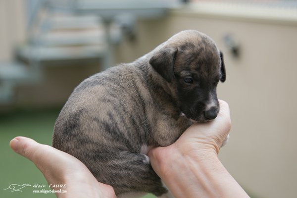 newton-whippet-chiot-elwood-meadows