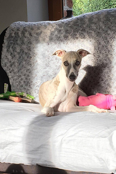 chiot whippet male elwood meadows