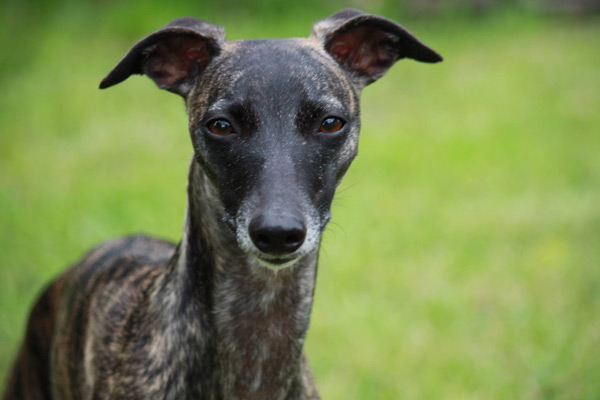 confirmation-my-pretty-maid-whippets-elwood-meadows