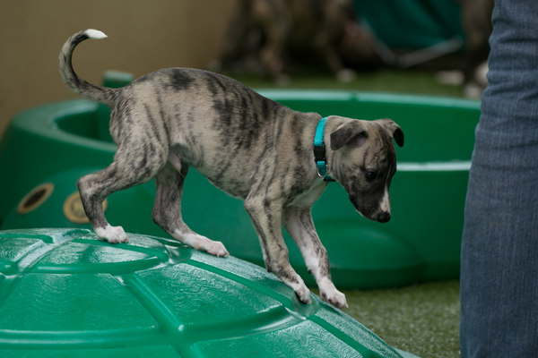 chiot-whippet-male-elwood-meadows