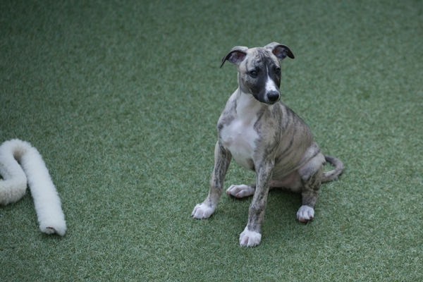 chiot-whippet-levrier
