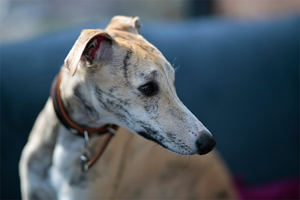 portrair-whippet-jouvence-cannelle-elwood-meadows