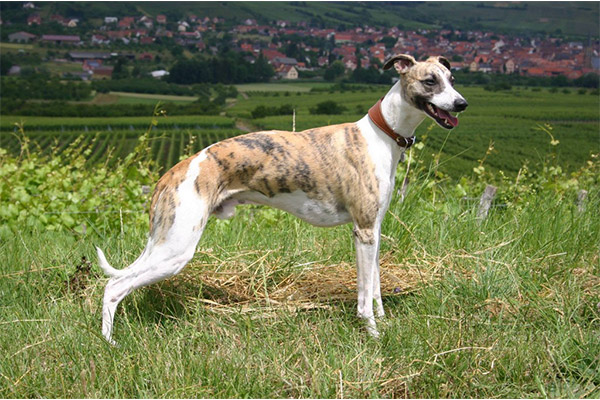 statique-campagne-westhoffen-whippet-elwood-meadows