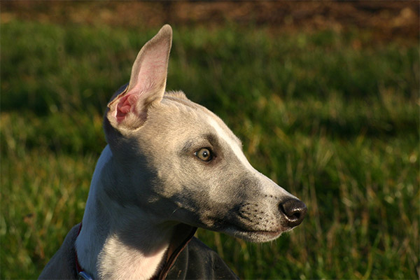 vignes-alsace-whippets-whippet-elwood-meadows