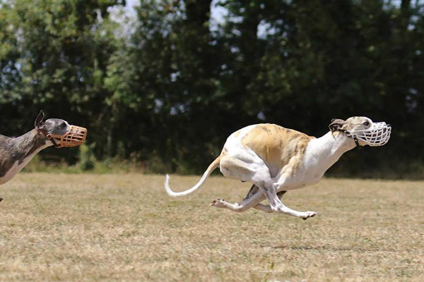mouvement whippet coursing