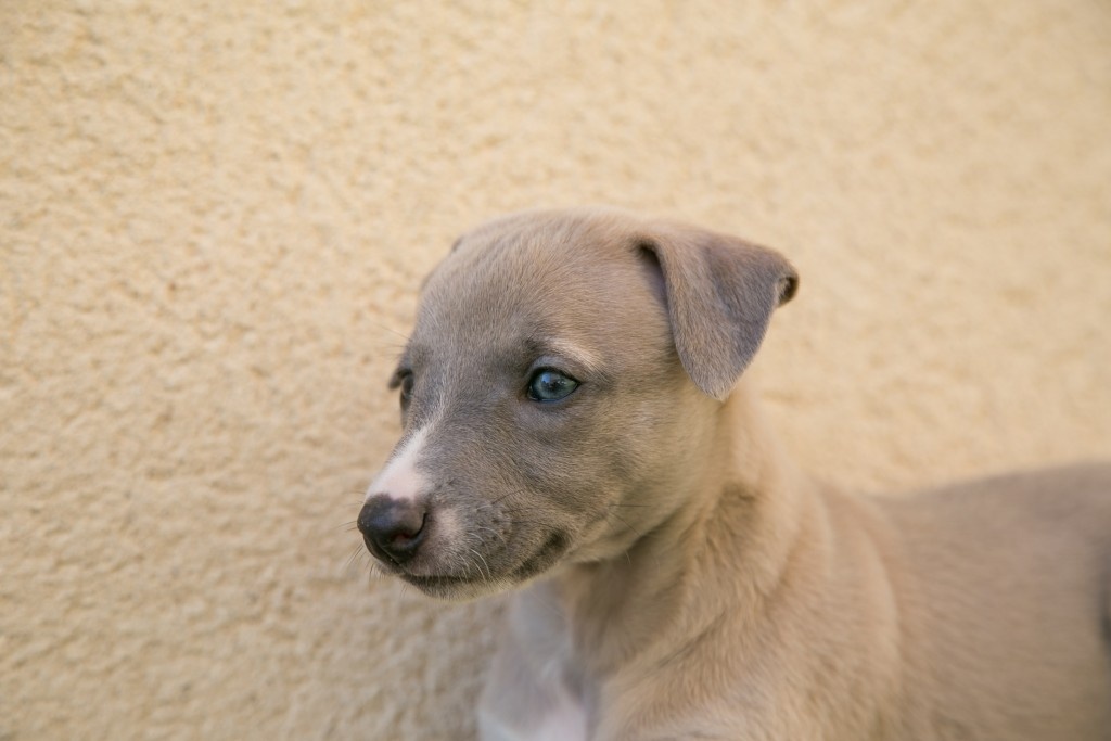 Li-chiot-elwood-meadows-whippet