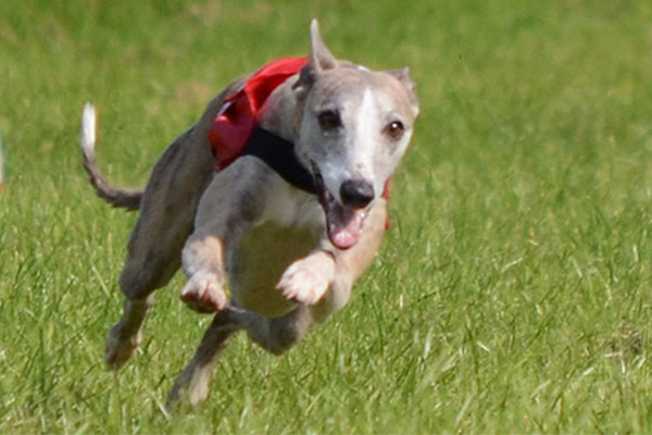 coursing pvl whippet