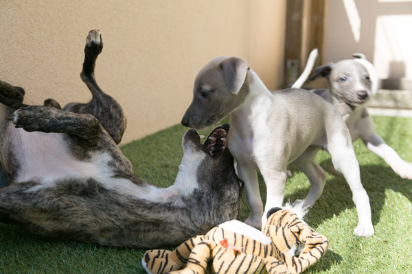 chiot-whippet