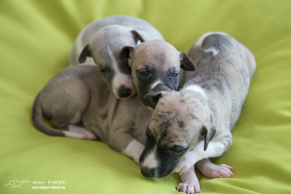 chiots-whippets-elwood-meadows