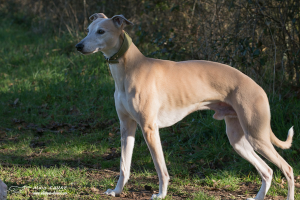 whippets-elwood-meadows-gandhi-canut